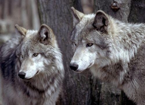 Serigala besar