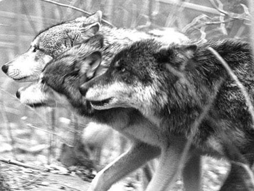 Serigala di salju