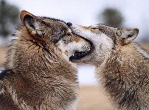 Serigala lucu 2