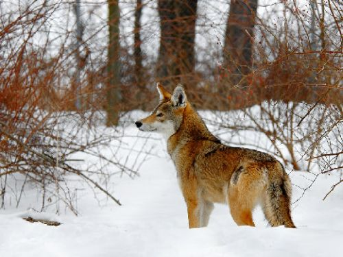 Serigala merah (Red Wolf)