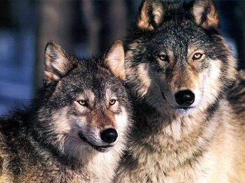 Serigala Pasangan Alpha