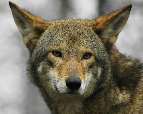 Serigala Red Wolf