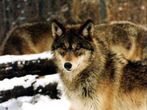 Serigala Timur (Eastern Wolf)