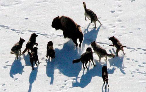 Serigala yang berburu