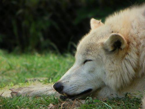 Serigala yang tidur