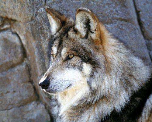 Wajah Serigala 2