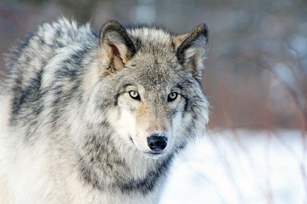 Wajah Serigala