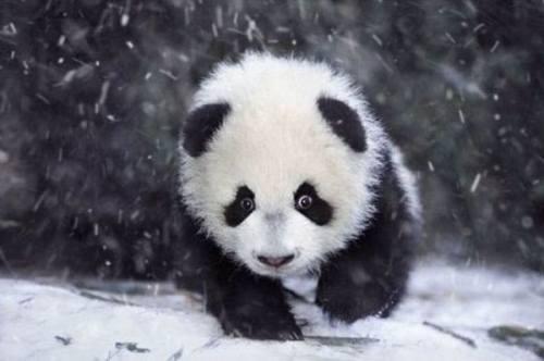 Foto Gambar Bayi Panda lucu