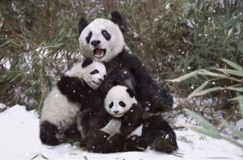 Foto Gambar Keluarga Panda lucu