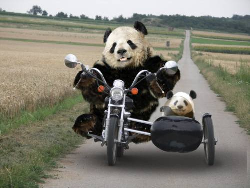 Foto Gambar Panda lucu 10