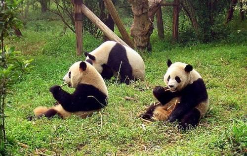 Foto Gambar Panda lucu 11