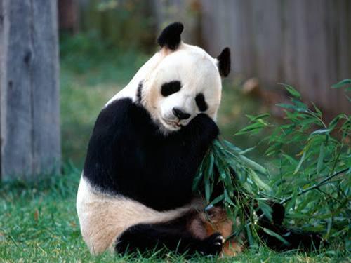 Foto Gambar Panda lucu 12