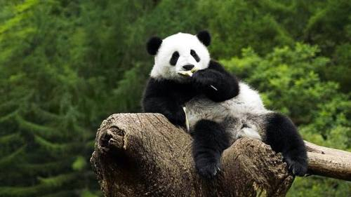 Foto Gambar Panda lucu 14
