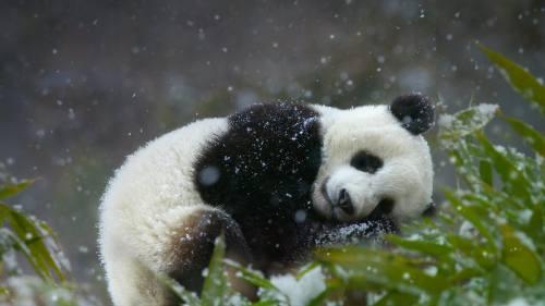Foto Gambar Panda lucu 15