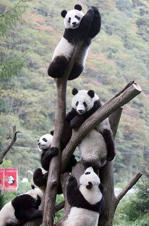 Foto Gambar Panda lucu 16
