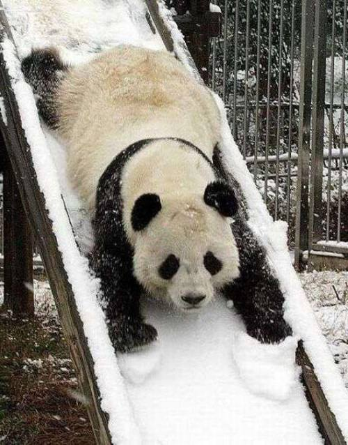 Foto Gambar Panda lucu 17