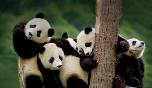 Foto Gambar Panda lucu 18