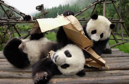 Foto Gambar Panda lucu 19