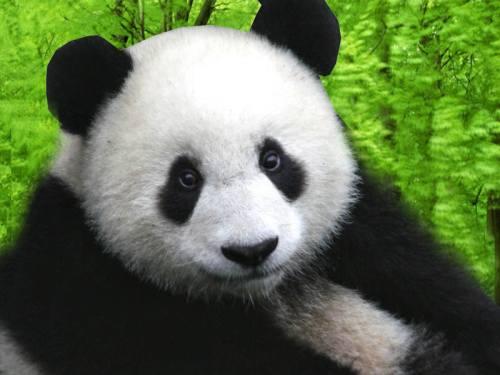 Foto Gambar Panda lucu 2