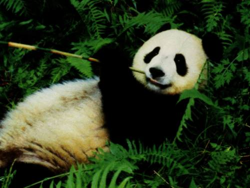 Foto Gambar Panda lucu 20