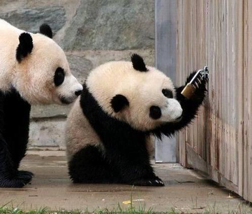 Foto Gambar Panda lucu 21