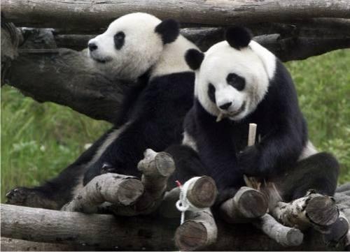 Foto Gambar Panda lucu 22