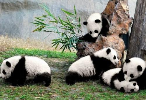 Foto Gambar Panda lucu 24