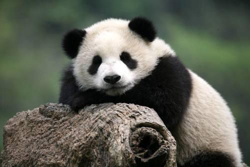 Foto Gambar Panda lucu 25