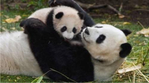 Foto Gambar Panda lucu 26