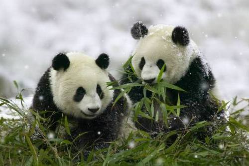 Foto Gambar Panda lucu 27