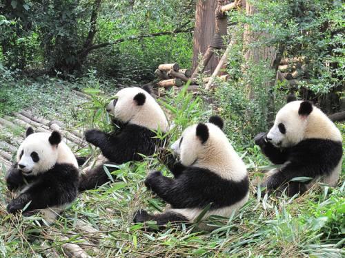 Foto Gambar Panda lucu 28