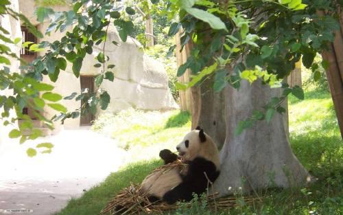 Foto Gambar Panda lucu 29