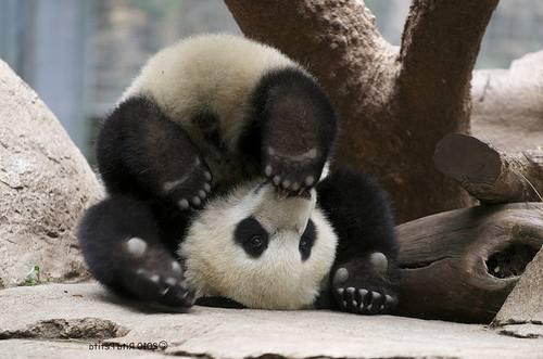 Foto Gambar Panda lucu 3