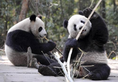 Foto Gambar Panda lucu 30