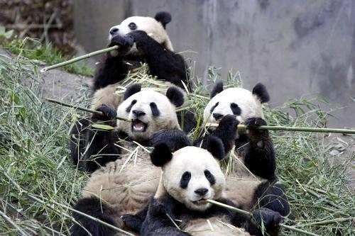 Foto Gambar Panda lucu 31