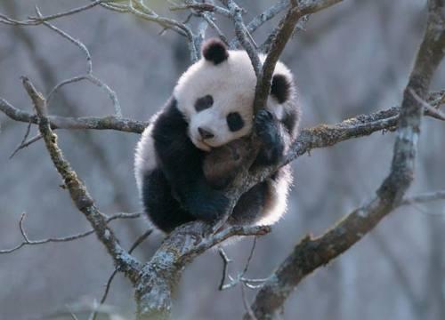 Foto Gambar Panda lucu 32