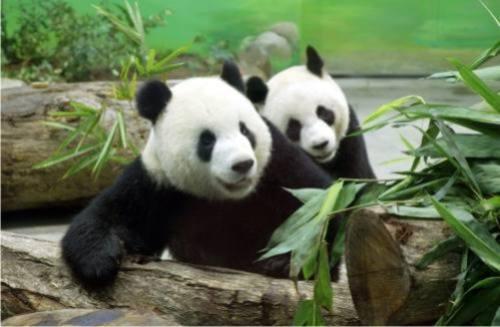 Foto Gambar Panda lucu 33