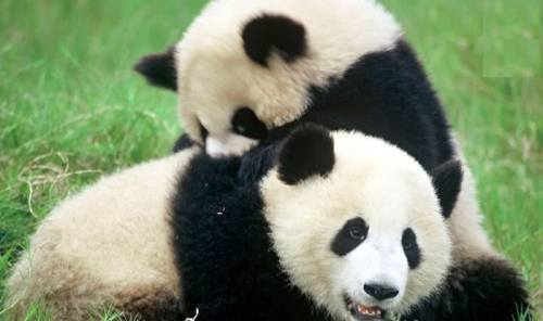 Foto Gambar Panda lucu 34