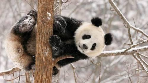 Foto Gambar Panda lucu 35