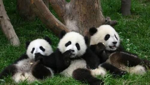 Foto Gambar Panda lucu 36