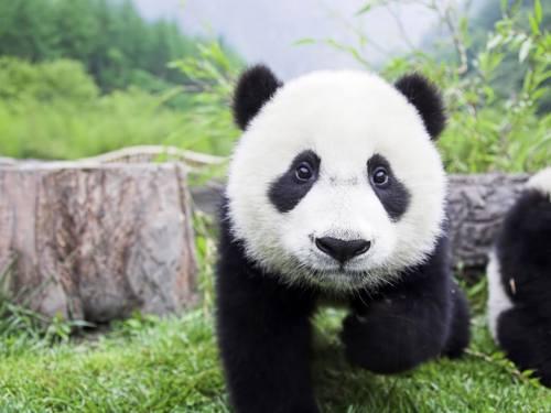 Foto Gambar Panda lucu 37