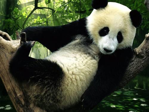 Foto Gambar Panda lucu 38