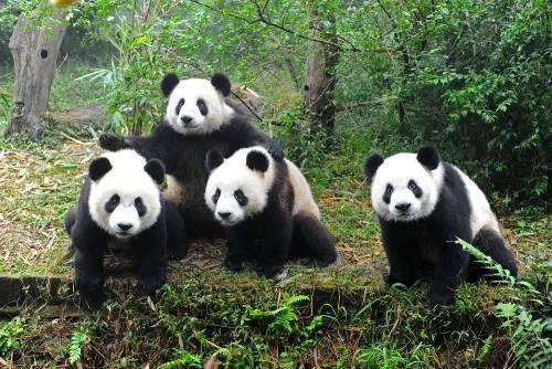 Foto Gambar Panda lucu 39