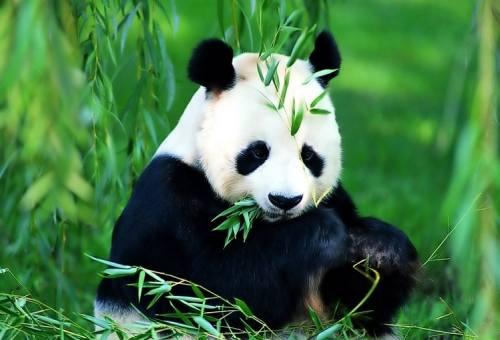 Foto Gambar Panda lucu 4