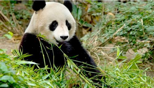 Foto Gambar Panda lucu 40