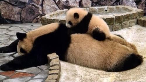 Foto Gambar Panda lucu 41