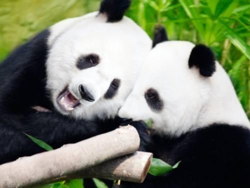 Foto Gambar Panda lucu 42
