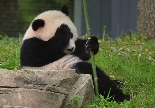 Foto Gambar Panda lucu 43