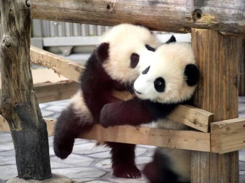 Foto Gambar Panda lucu 44