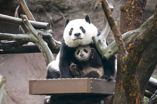 Foto Gambar Panda lucu 45